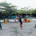 Top những giống chó nghiệp vụ dũng mãnh nhất